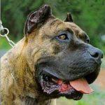 Perro de Presa Canario – Dog Breed Information and Pictures