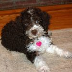 Spanish Water Dog – Dog Breed Information and Pictures