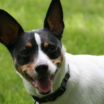 Teddy Roosevelt Terrier – Dog Breed Information and Pictures