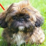 The Shih Tzu – Dog Breed Information and Pictures