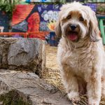 Tibetan Terrier – Dog Breed Information and Pictures
