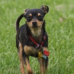Toy Manchester Terrier – Dog Breed Information and Pictures
