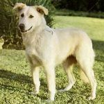 Aidi – Dog Breed Information and Pictures