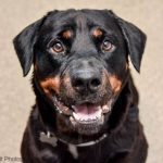 Austrian Black and Tan Hound – Dog Breed Information and Pictures