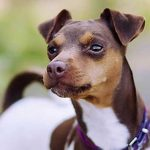 Brazilian Terrier – Dog Breed Information and Pictures