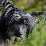 Chinese Crested Dog – Dog Breed Information and Pictures