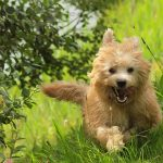 Dutch Smoushond – Dog Breed Information and Pictures
