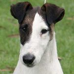Fox Terrier (Smooth) – Dog Breed Information and Pictures