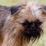 Griffon Bruxellois – Dog Breed Information and Pictures