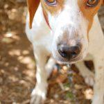 Istarski Kratkodlaki Gonic – Dog Breed Information and Pictures