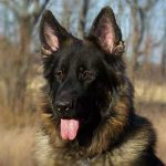 King Shepherd – Dog Breed Information and Pictures