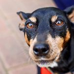 Miniature Pinscher – Dog Breed Information and Pictures