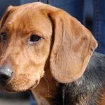 Schillerstövare – Dog Breed Information and Pictures