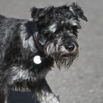Schnauzer – Dog Breed Information and Pictures