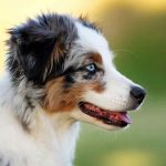 Miniature Australian Shepherd – Dog Breed Information and Pictures