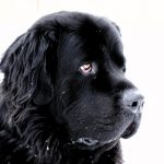 Newfoundland – Dog Breed Information and Pictures