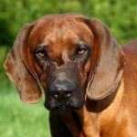 Tyrolean Hound – Dog Breed Information and Pictures