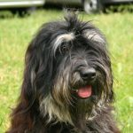 Cao da Serra de Aires – Dog Breed Information and Pictures