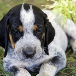 Bluetick Coonhound – Dog Breed Information and Pictures
