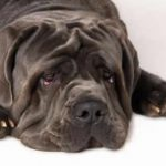 Dogo Cubano – Dog Breed Information and Pictures