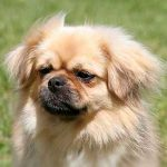 Tibetan Spaniel – Dog Breed Information and Pictures