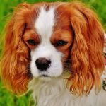 Chien Francais Blanc et Orange – Dog Breed Information and Pictures