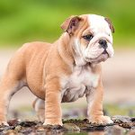 Olde English Bulldogge – Dog Breed Information and Pictures