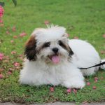 The Lhasa Apso – Dog Breed Information and Pictures