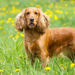 Cocker Spaniel – Dog Breed Information and Pictures