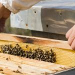 Beginners bee keeping supplies: Bee colonies (castes)