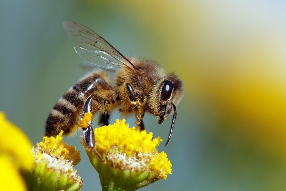 Native honeybees